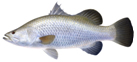 Farmed Barramundi